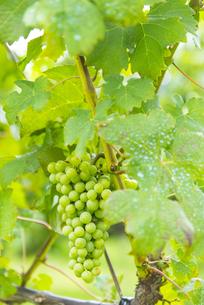 果実園の葡萄の写真素材 [FYI04821216]