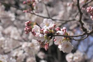 桜の写真素材 [FYI04821232]