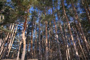 諏訪ノ森自然公園の赤松林の写真素材 [FYI04821372]