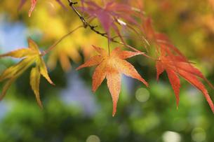 紅葉の楓の写真素材 [FYI04821429]