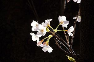 桜 ソメイヨシノの写真素材 [FYI04822224]