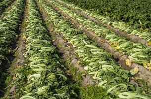 高菜畑の写真素材 [FYI04822256]