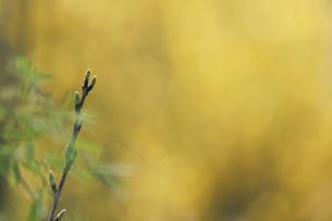 木の芽の写真素材 [FYI04822281]