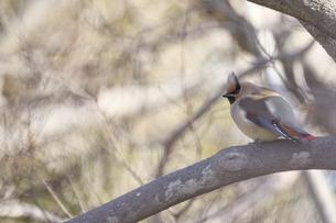 枝にとまるヒレンジャクの写真素材 [FYI04822282]