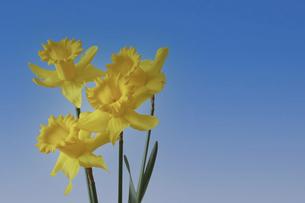黄色の水仙の写真素材 [FYI04822289]