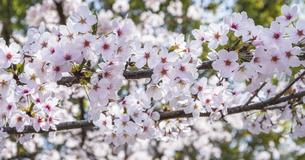 満開の桜の写真素材 [FYI04822362]