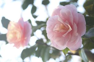 鎌倉源氏山公園の椿の写真素材 [FYI04822726]