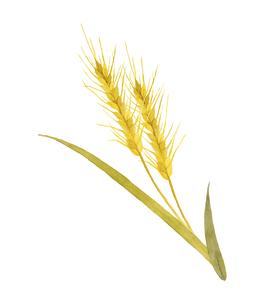 小麦の水彩画のイラスト素材 [FYI04822798]