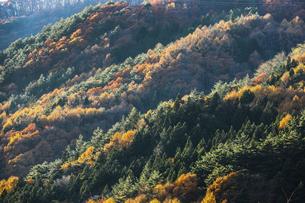 カラマツの紅葉を見る森林の写真素材 [FYI04822806]