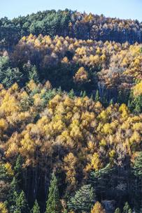 カラマツの紅葉を見る森林の写真素材 [FYI04822808]