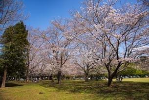 房総のむら 桜咲く多目的広場の写真素材 [FYI04822861]