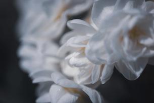 八重咲の水仙のクローズアップの写真素材 [FYI04822916]
