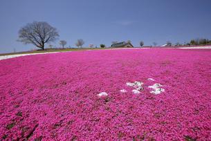 おおた八王子山公園の芝桜の写真素材 [FYI04822923]