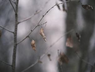 枯れ葉の写真素材 [FYI04822934]