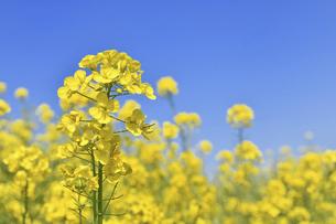 河川敷の菜の花の写真素材 [FYI04823090]