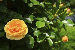 庭園に咲く美しいバラの写真素材 [FYI04823098]