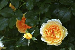 庭園に咲く美しいバラの写真素材 [FYI04823102]