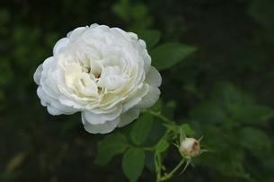 庭園に咲く美しいバラの写真素材 [FYI04823103]