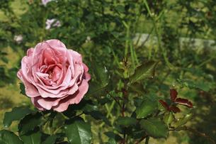 庭園に咲く美しいバラの写真素材 [FYI04823106]