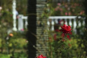 庭園に咲く美しいバラの写真素材 [FYI04823107]