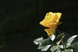 庭園に咲く美しいバラの写真素材 [FYI04823109]