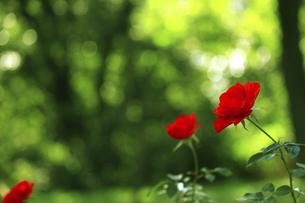 庭園に咲く美しいバラの写真素材 [FYI04823110]