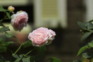 庭園に咲く美しいバラの写真素材 [FYI04823113]