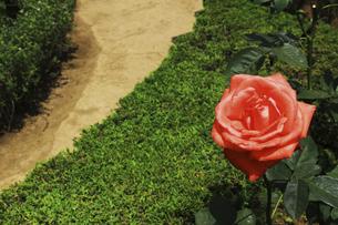 庭園に咲く美しいバラの写真素材 [FYI04823119]