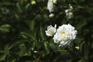 庭園に咲く美しいバラの写真素材 [FYI04823121]