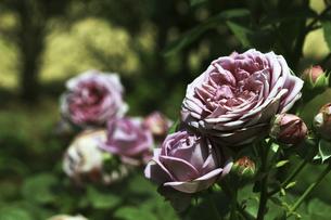 庭園に咲く美しいバラの写真素材 [FYI04823123]