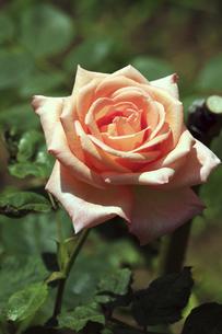 庭園に咲く美しいバラの写真素材 [FYI04823129]