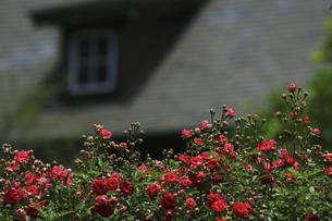 庭園に咲く美しいバラの写真素材 [FYI04823137]