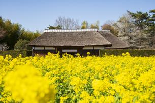 房総のむら 菜の花畑と茅葺の農家の写真素材 [FYI04823302]