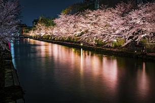 【京都府】岡崎公園から見る夜の桜のライトアップ ソメイヨシノの写真素材 [FYI04823325]