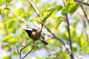 桜の木で虫を捕まえたヤマガラの写真素材 [FYI04823432]