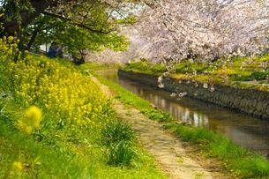 元荒川の桜並木と菜の花の風景の写真素材 [FYI04823923]