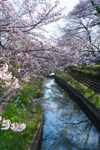 元荒川の桜並木の風景の写真素材 [FYI04823930]