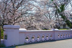 元荒川の桜と新佐賀橋の写真素材 [FYI04823969]