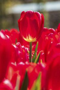 赤いチューリップの写真素材 [FYI04824016]