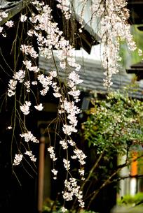 枝垂れ桜の写真素材 [FYI04824235]