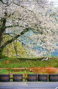 大井川鐵道家山駅の桜とチューリップの写真素材 [FYI04824399]