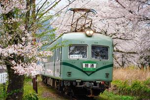 満開の桜と大井川鐵道21000系の写真素材 [FYI04824404]