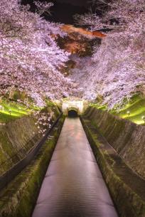 琵琶湖疎水の夜桜ライトアップ 日本 滋賀県 大津の写真素材 [FYI04824408]