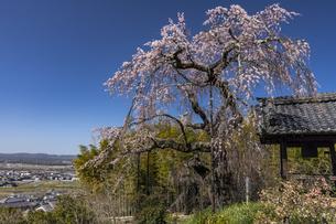 地蔵院の枝垂れ桜の写真素材 [FYI04824481]