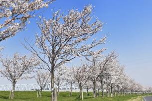 新しく植えられた桜並木の写真素材 [FYI04824625]