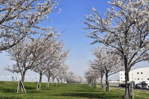 新しく植えられた桜並木の写真素材 [FYI04824626]