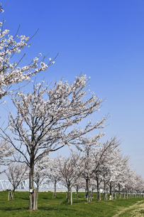 新しく植えられた桜並木の写真素材 [FYI04824627]