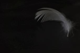 黒背景の白鳥の羽根の写真素材 [FYI04824642]