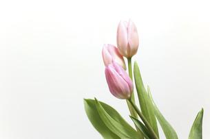 白背景のチューリップの写真素材 [FYI04824646]
