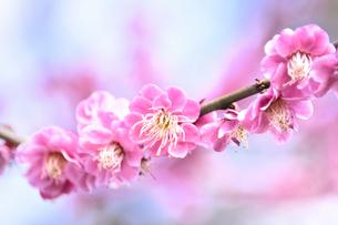 青葉の森公園に咲く紅梅(バラ科サクラ属の落葉高木)の写真素材 [FYI04824769]